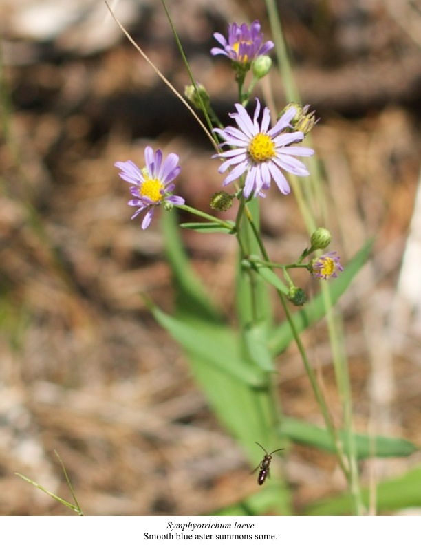Smooth blue aster summons some.