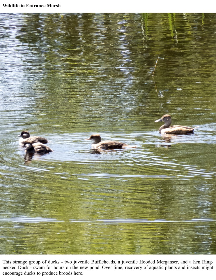 This strange group of ducks - two juvenile Buffleheads, a juvenile Hooded Merganser, and a hen Ring- necked Duck - swam for hours on the new pond.