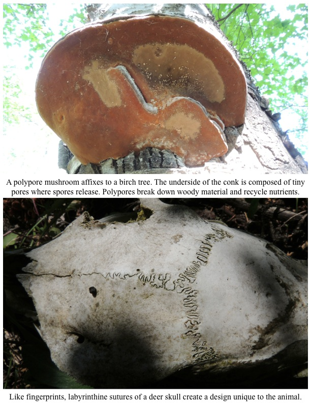 A polypore mushroom affixes to a birch tree. The underside of the conk is composed of tiny pores where spores release. Polypores break down woody material and recycle nutrients.