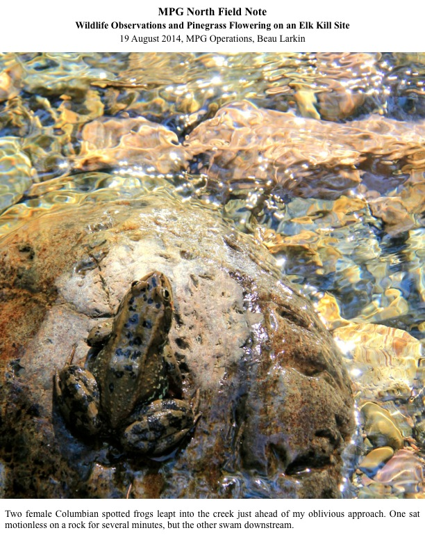 Two female Columbian spotted frogs leapt into the creek just ahead of my oblivious approach. One sat motionless on a rock for several minutes, but the other swam downstream.