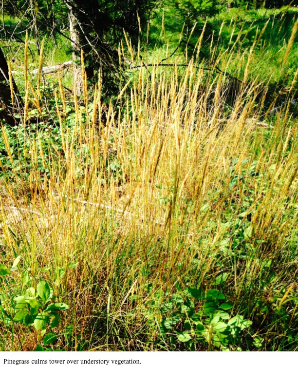 Pinegrass culms tower over understory vegetation.