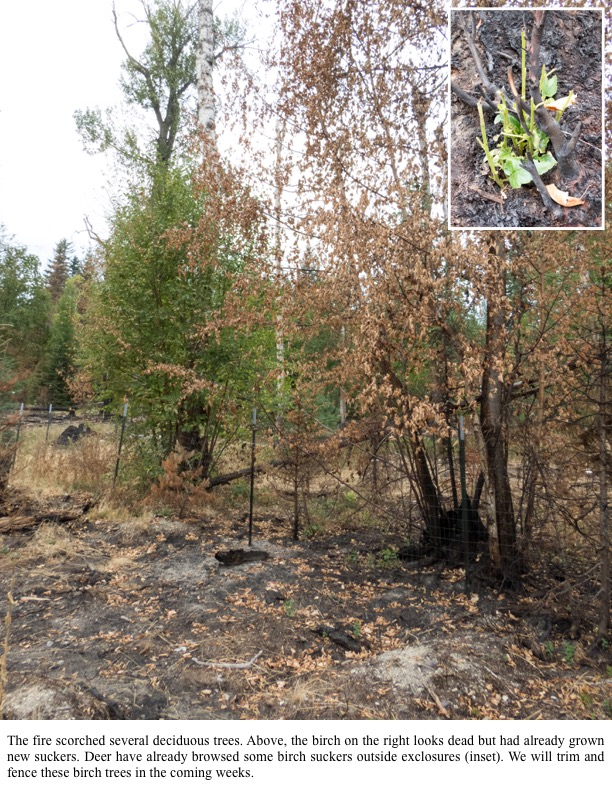 The fire scorched several deciduous trees. Above, the birch on the right looks dead but had already grown new suckers.