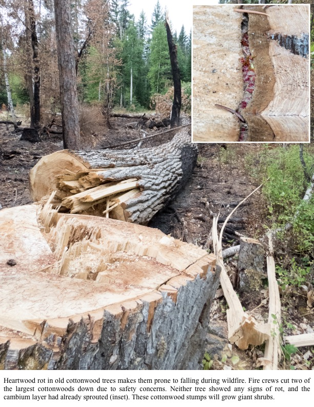 Heartwood rot in old cottonwood trees makes them prone to falling during wildfire. Fire crews cut two of the largest cottonwoods down due to safety concerns.