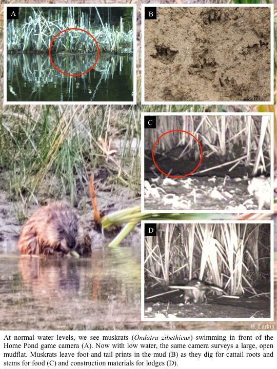 At normal water levels, we see muskrats (Ondatra zibethicus) swimming in front of the Home Pond game camera.