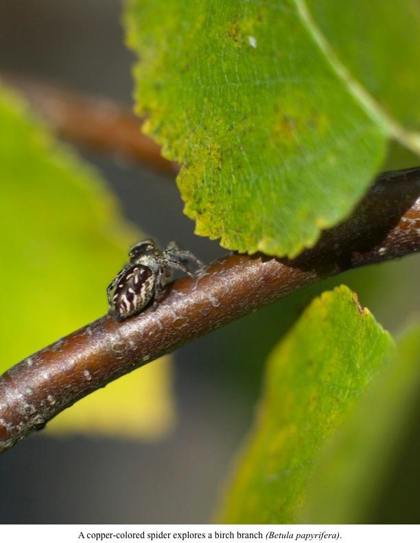 A copper-colored spider explores a birch branch (Betula papyrifera).