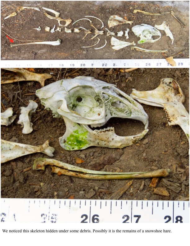 We noticed this skeleton hidden under some debris. Possibly it is the remains of a snowshoe hare.