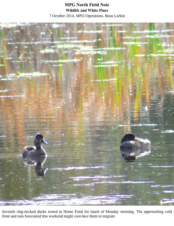 Juvenile ring-necked ducks rested in Home Pond for much of Monday morning. The approaching cold front and rain forecasted this weekend might convince them to migrate.