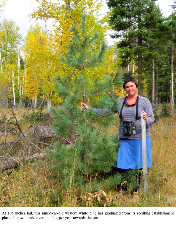 At 105 inches tall, this nine-year-old western white pine has graduated from its seedling establishment phase. It now climbs over one foot per year towards the sun.