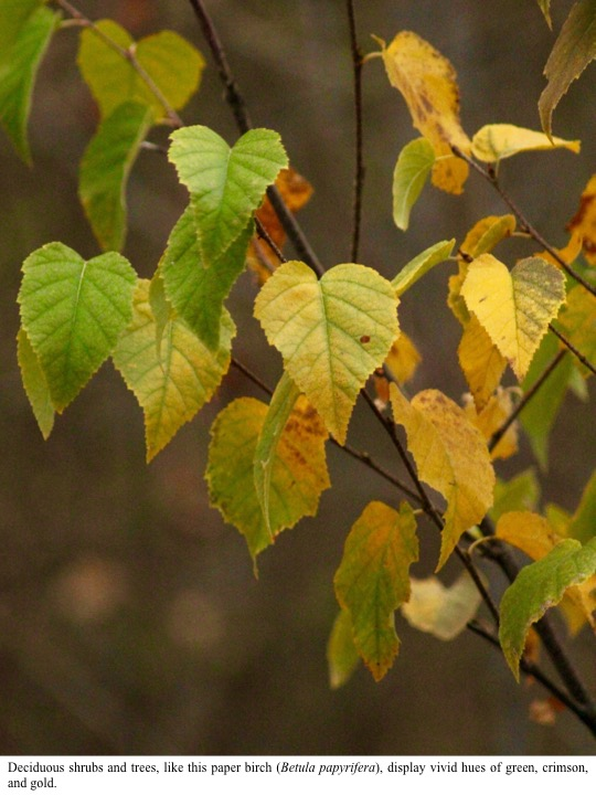 Deciduous shrubs and trees, like this paper birch (Betula papyrifera), display vivid hues of green, crimson, and gold.