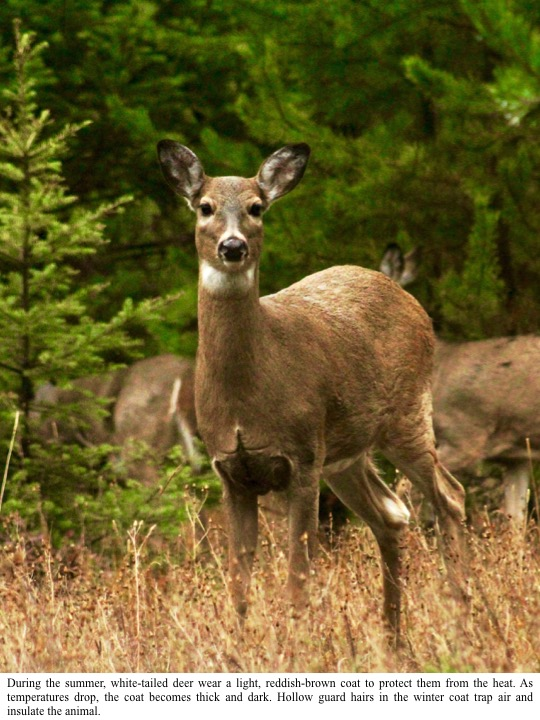 During the summer, white-tailed deer wear a light, reddish-brown coat to protect them from the heat. As temperatures drop, the coat becomes thick and dark. Hollow guard hairs in the winter coat trap air and insulate the animal.