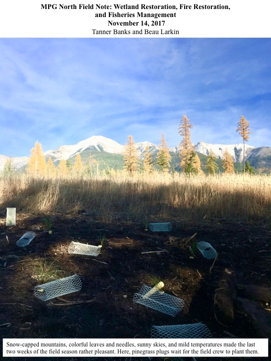 Snow-capped mountains, colorful leaves and needles, sunny skies, and mild temperatures made the last two weeks of the field season rather pleasant.
