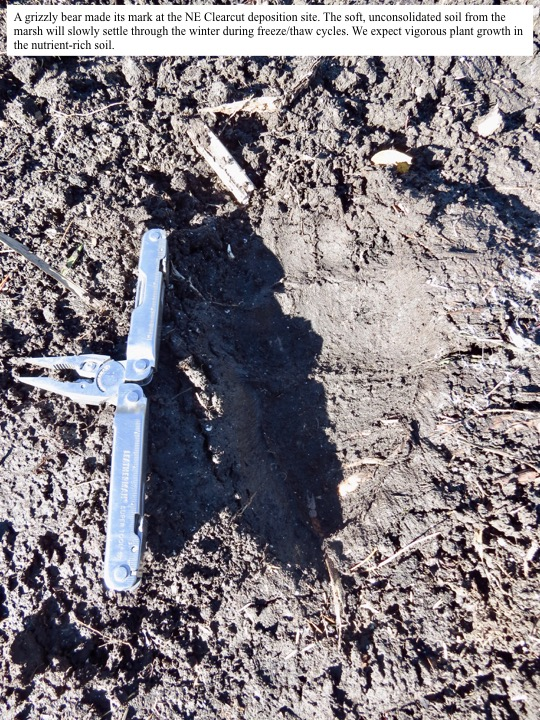 A grizzly bear made its mark at the NE Clearcut deposition site.