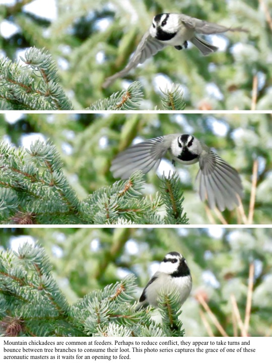 Mountain chickadees are common at feeders. Perhaps to reduce conflict, they appear to take turns and bounce between tree branches to consume their loot. This photo series captures the grace of one of these aeronautic masters as it waits for an opening to feed.