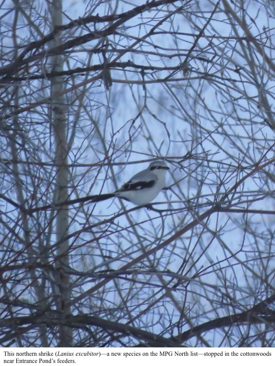This northern shrike (Lanius excubitor)—a new species on the MPG North list—stopped in the cottonwoods near Entrance Pond's feeders.