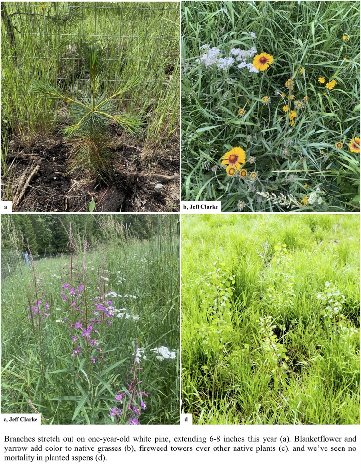 Branches stretch out on one-year-old white pine, extending 6-8 inches this year (a). Blanketflower and yarrow add color to native grasses (b), fireweed towers over other native plants (c), and we've seen no mortality in planted aspens (d).
