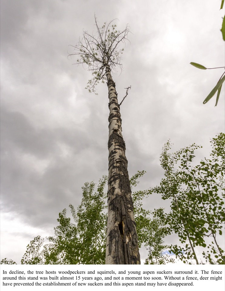 In decline, the tree hosts woodpeckers and squirrels, and young aspen suckers surround it.